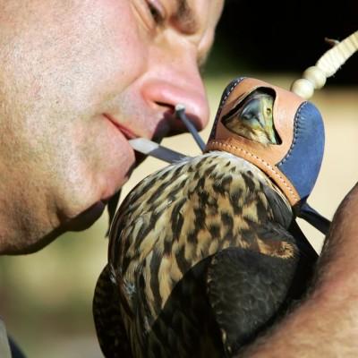 """""""Verhauben"""" eines Falken, damit er ruhiger wird"""