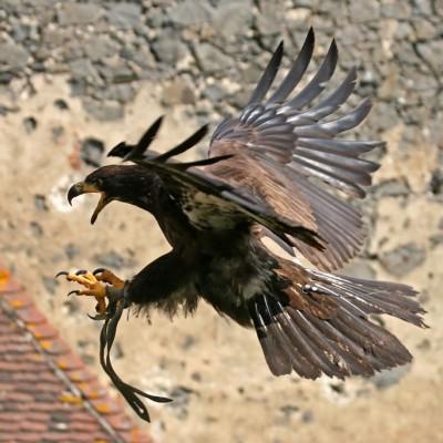 Weißkopfseeadler Ragnar