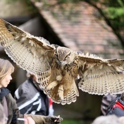 Europäischer Uhu kurz vor der Landung auf dem Handschuh der Falknerin