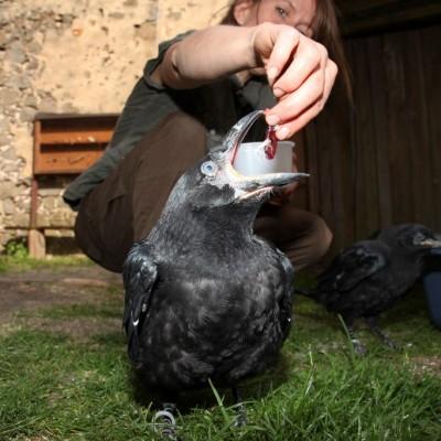 Fütterung der Kolkrabenbabies