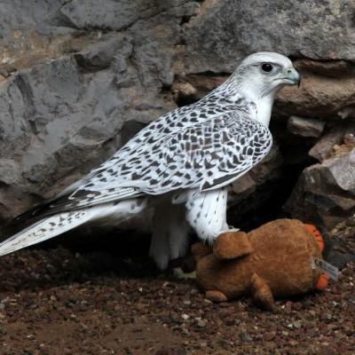Auch ein Falke spielt gerne